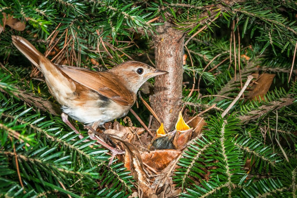 A common nightingale bird at its nest with two chicks in a fir tree