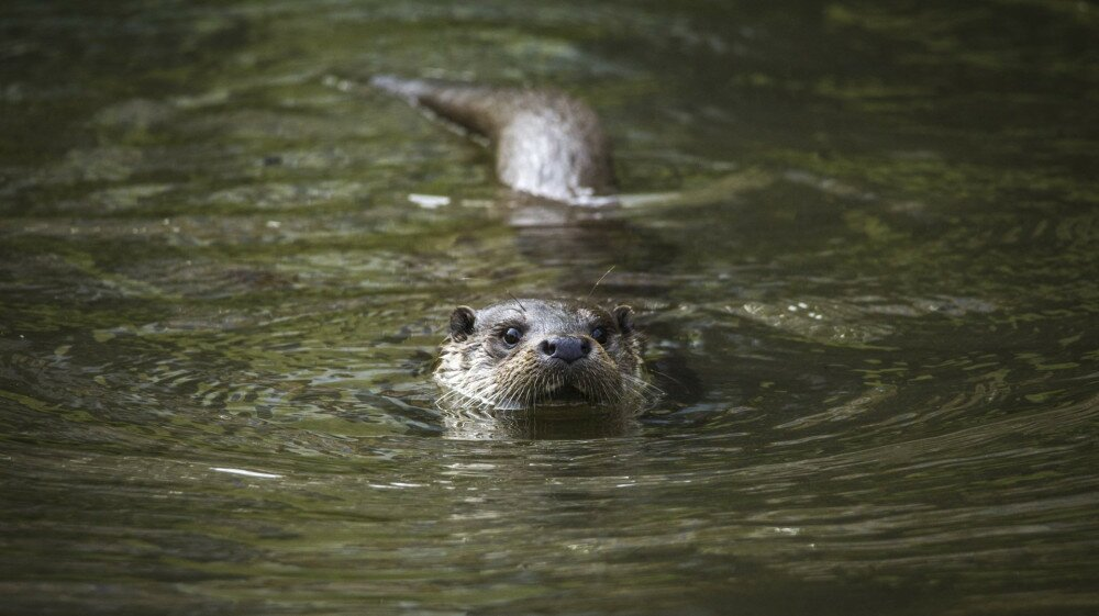A European otter floats in the water