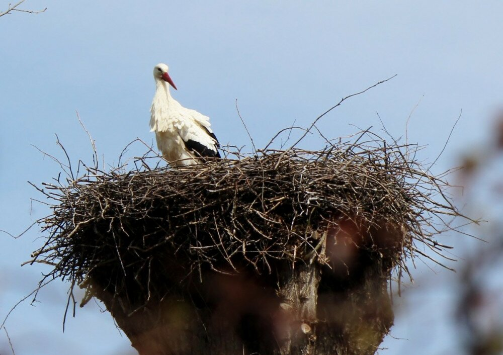 animals_birds_storchennest_nest_stork_rattle_stork_plumage_bill-737354_jpg_d.jpg