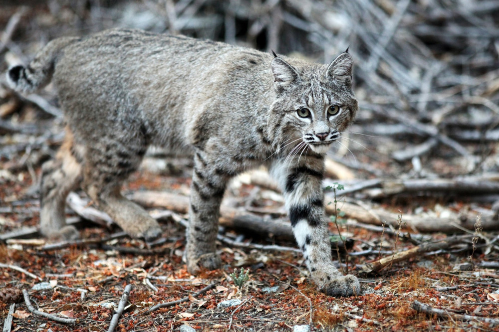 Bobcat walks by the camera and looks into the lens in this close up shot (Lynx rufus), California, Yosemite National Park. Taken 09/2013