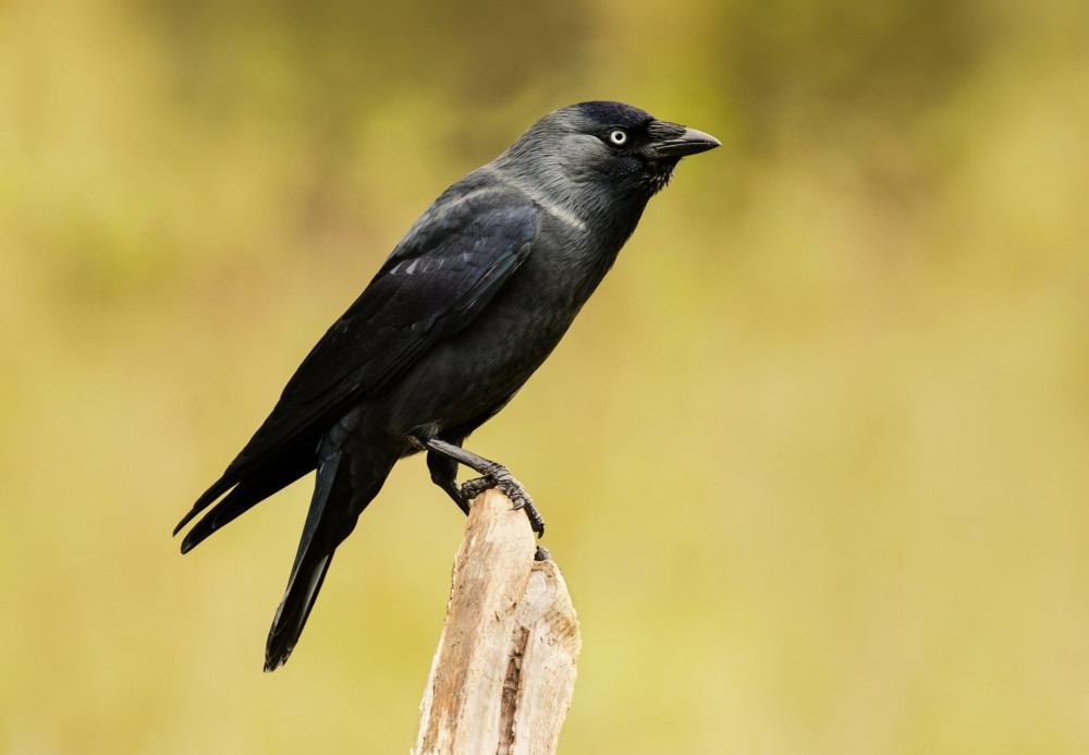 Close-up of a Jackdaw perching on a wooden post against yellow background, UK.