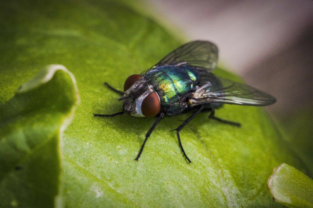 common greenbottle fly (Lucilia sericata)
