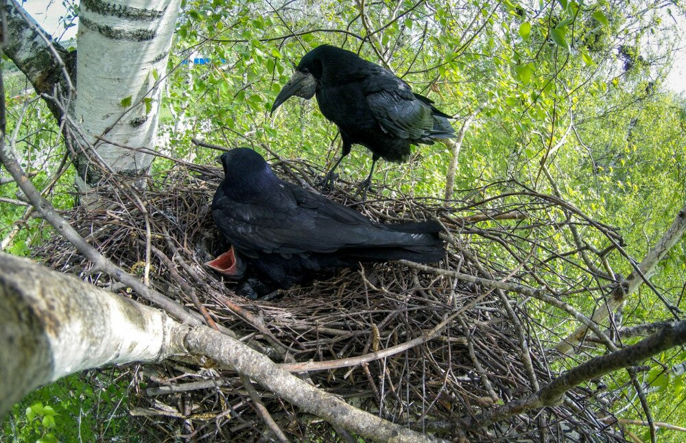 Corvus frugilegus. The nest of the Rook in nature.