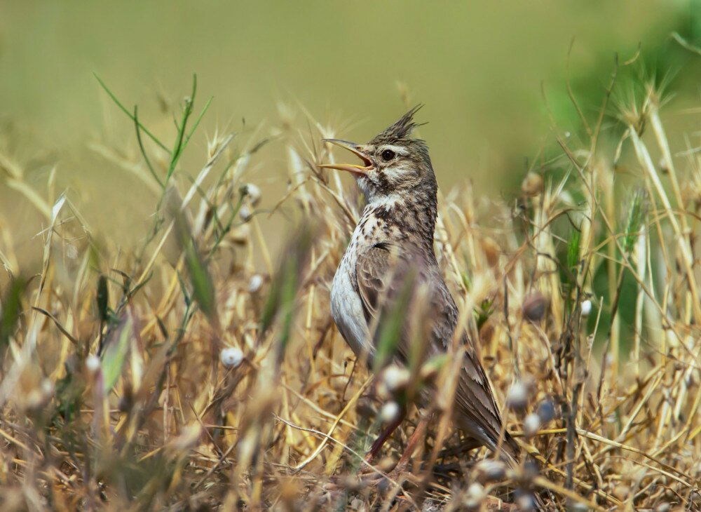 Crested lark (Galerida cristata) calling in the meadow, summer in Bulgaria