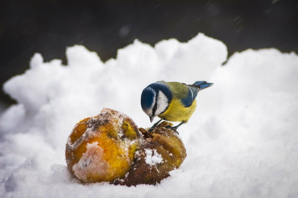 European Blue Tit Pecking Apples in Winter Snow