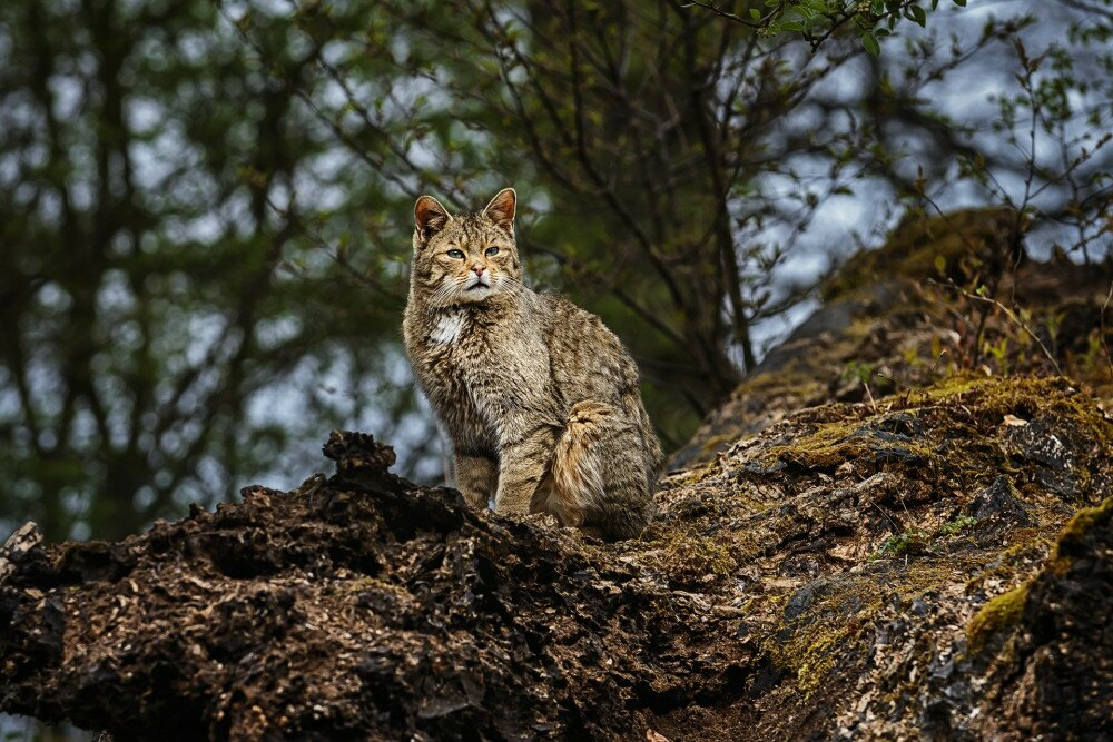 European wild cat (Felis silvestris) looking sweet in the forest