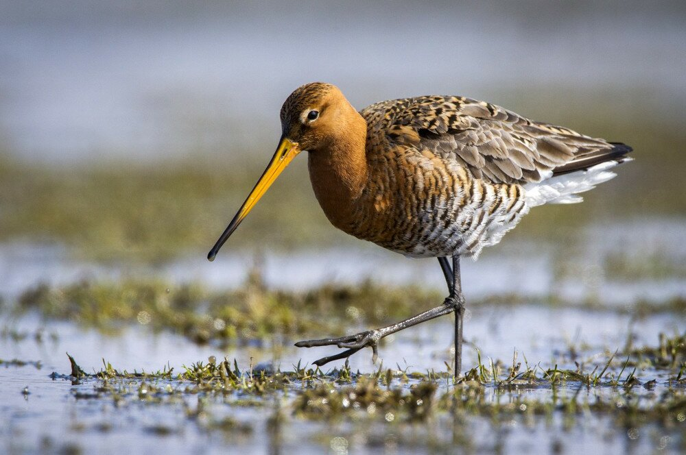 Foeragerende Grutto, Black-tailed Godwit foraging