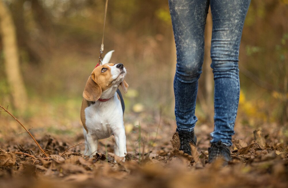 Girl walking her Beagle Dog