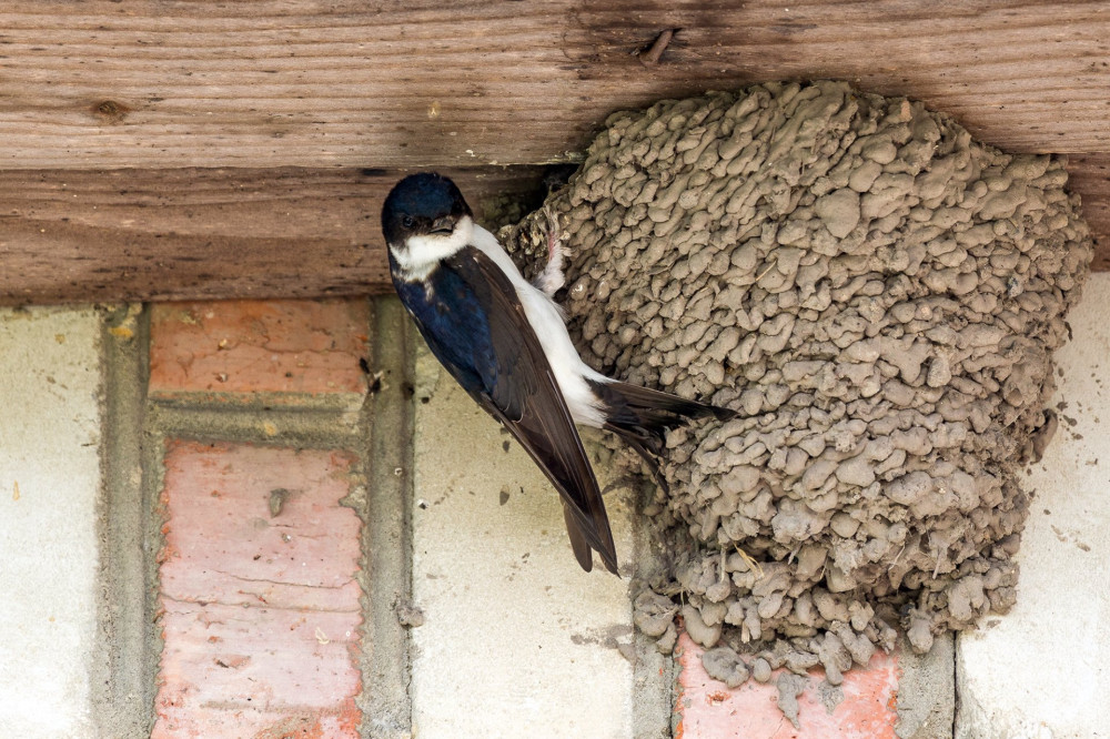 House martins building a nest and taking care of the breed in their nest.