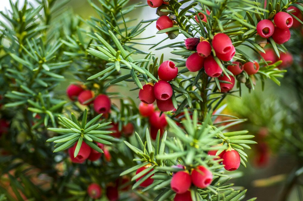 Taxus baccata European yew is conifer shrub with poisonous and bitter red ripened berry fruits
