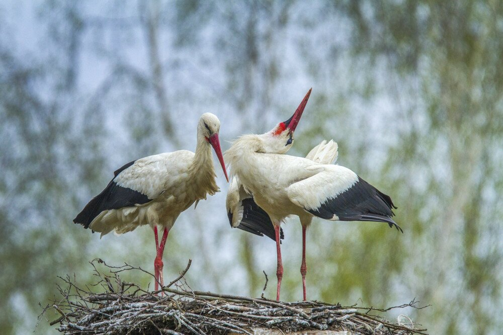 two white stork, Ciconia ciconia, building on a nest