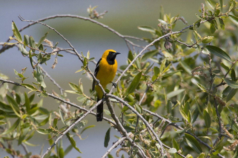 USA - California - San Diego - Hooded Oriole