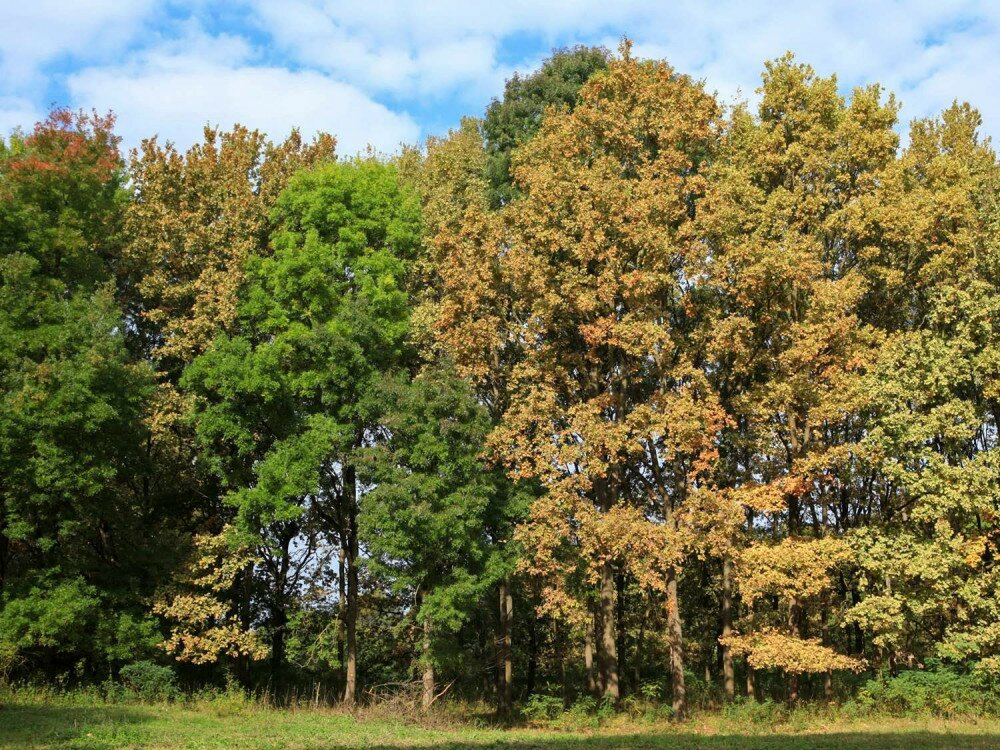 Yellow Quercus robur and green ashes